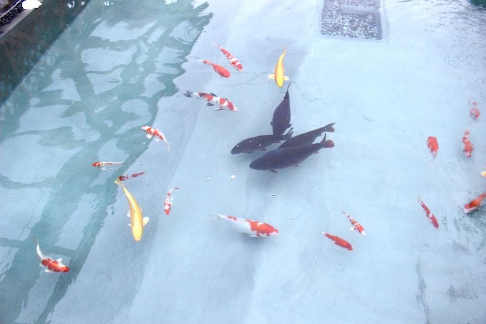 ロータスランドの池を泳ぐ鯉たち